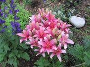 Hybrid Lily July 23, 2013