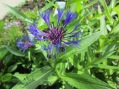 Blue Cornflower, 15 June 2014